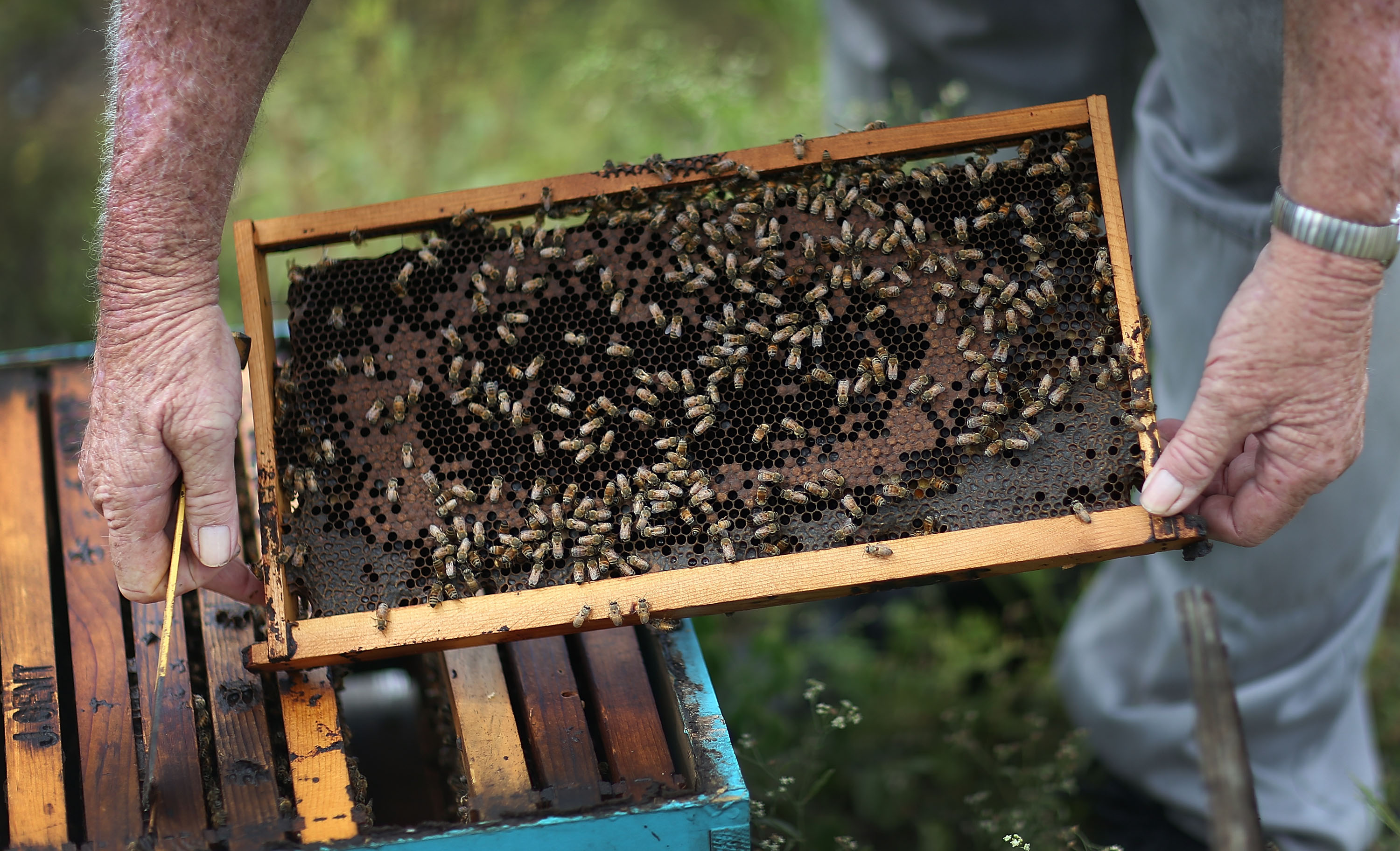 John Gentzel, the owner of J & P Apiary and Gentzel's Bees, Honey and Pollination Company, works with his honeybees on May 19, 2015 in Homestead, Florida. U.S. President Barack Obama's administration announced May 19, that the government would provide money for more bee habitat as well as research into ways to protect bees from disease and pesticides to reduce the honeybee colony losses that have reached alarming rates.  (Photo by Joe Raedle/Getty Images)